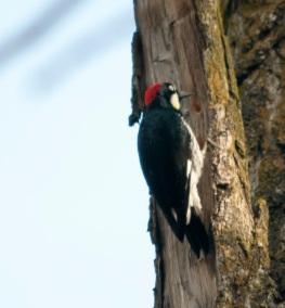 Acorn Woodpecker Lake Solano Park 3