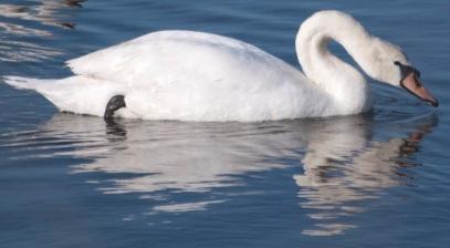 Mute Swan Shollenberger Park2