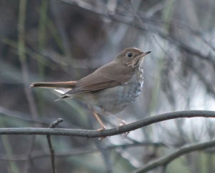 Swainsons Thrush Lake Solano Park5
