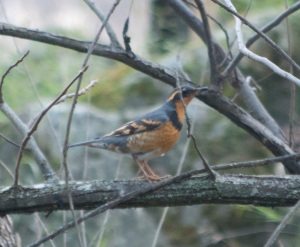 varied thrush1 lake solano cg