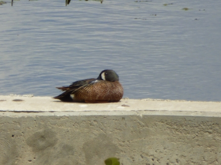 Bluewinged Teal3