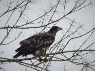 Gulls harassed this Bald eagle into this tree. It waited until the gulls flew off.