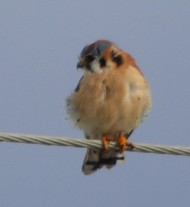 I see this American kestrel every day - today he cooperated for a photo.