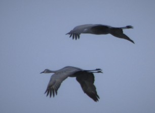 These Sandhill cranes were about a mile away, but still got a picture of them.