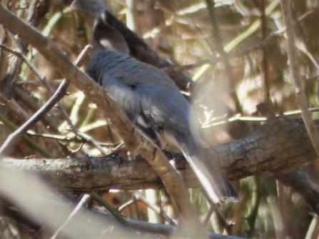 Mystery bird (same bird).