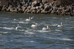 Pelicans fishing by the dam.