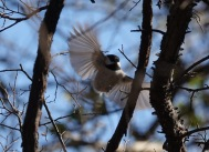 Here is a Carolina Chickadee stopped at 250th of a second.