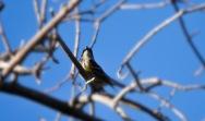 Yellow-rumped Warbler (Myrtle variety)