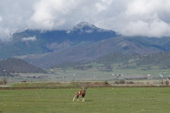 Neighbor's Bighorn Sheep.