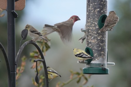 Finches5