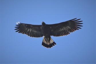 Golden Eagle5