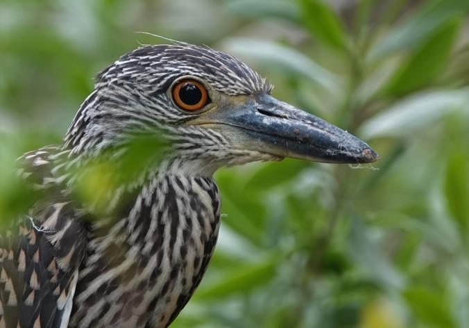 YCN Heron imm 1